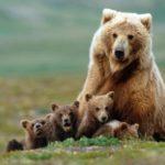 100 интересных фактов про медведей
