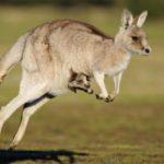 50 интересных фактов про кенгуру