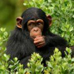 70 интересных фактов про обезьян