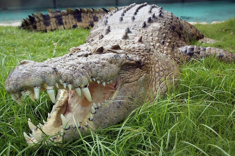 Saltwater crocodile vs tiger