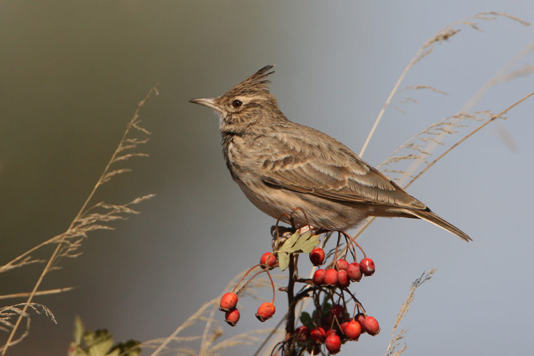 Полевой жаворонок – перелетная птица, фото и описание, голос и пение, чем питается и где обитает