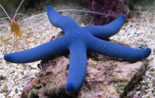 Морская звезда голубая линкия