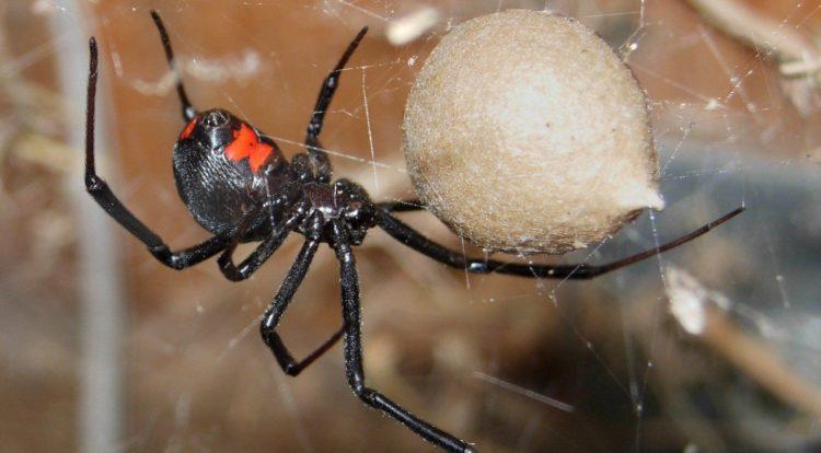 Черная вдова вид пауков