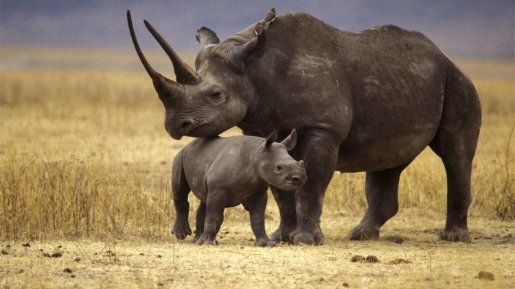 Черный носорог