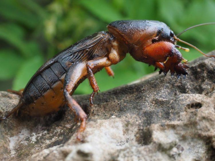 Медведка - как избавиться от насекомого в огороде