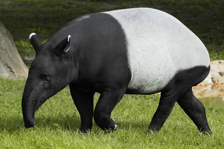 Горный тапир - это... Что такое Горный тапир?