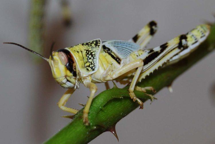 Саранча насекомое. Образ жизни и среда обитания саранчи