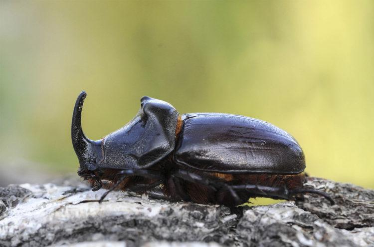 Как выглядит жук носорог