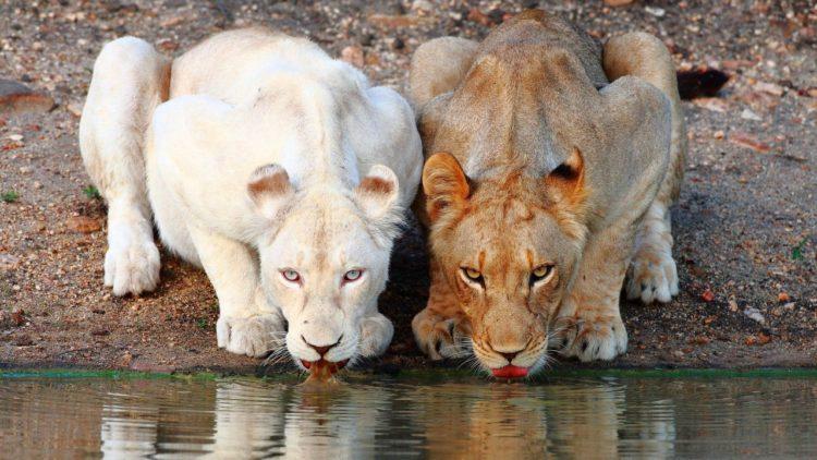 Альбинизм у львов