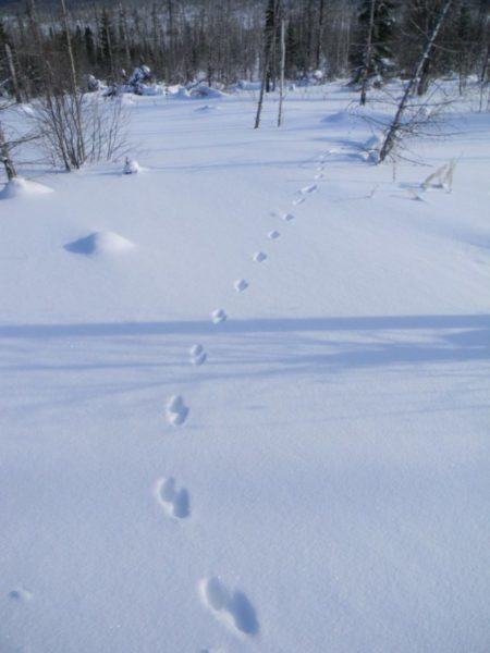 Следы куницы на снегу