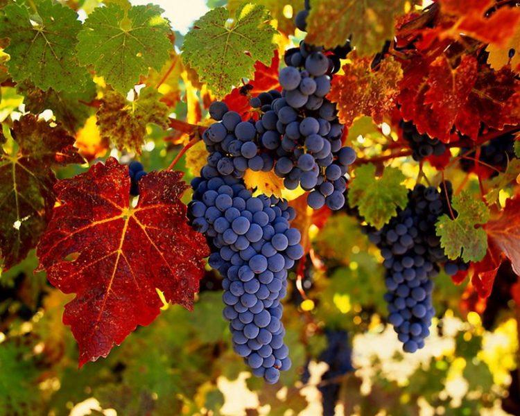 Где собирают виноград
