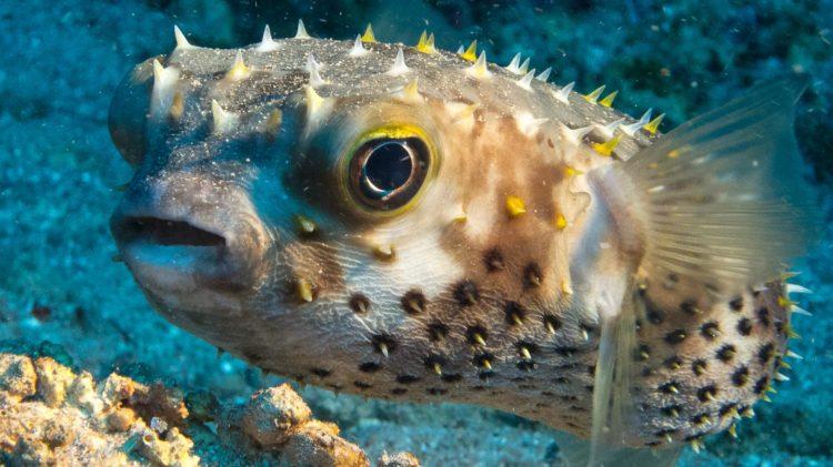 Где живет ядовитая рыба фугу
