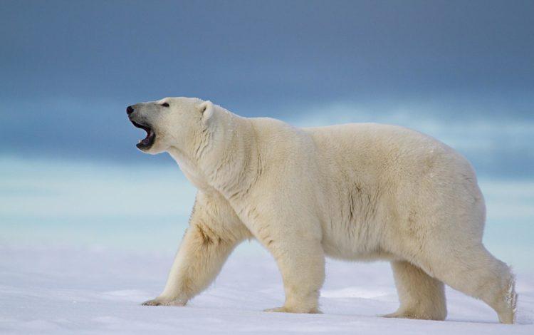Featured-e1543993926217 Медведь белый - это... Что такое Медведь белый?