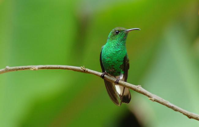 Гондурасский изумруд