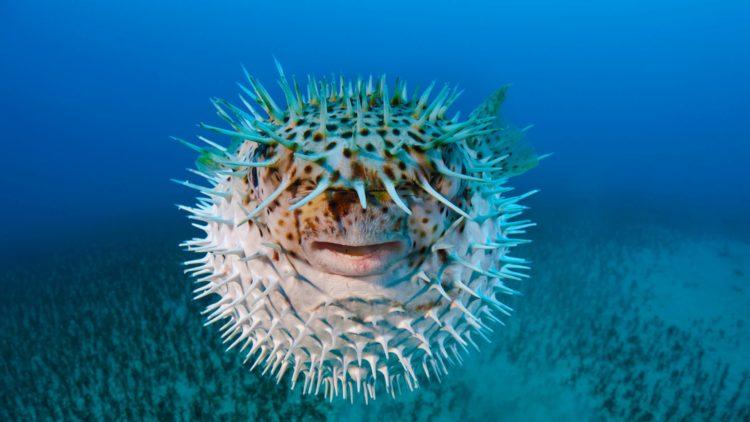 Еж рыба. Образ жизни и среда обитания рыбы ёж