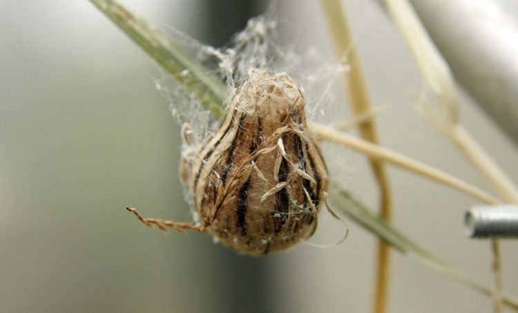 Аргиопа брюнниха или паук оса