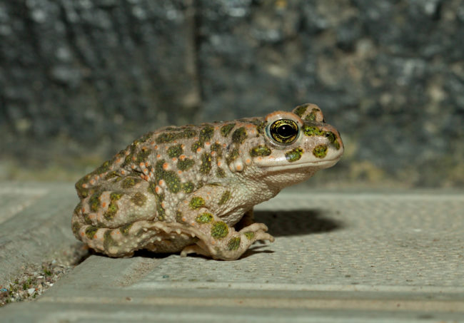 Как размножаются земляные жабы