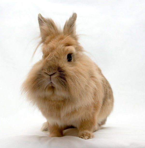 Порода кролика львиная голова