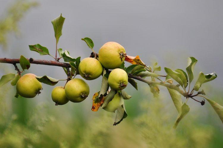 Польза яблок для здоровья - истина или заблуждение?