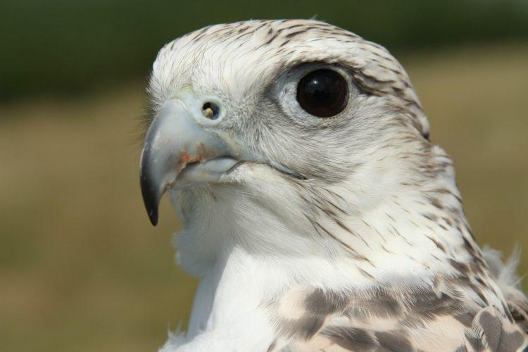 Кречет птица фото и описание где живет
