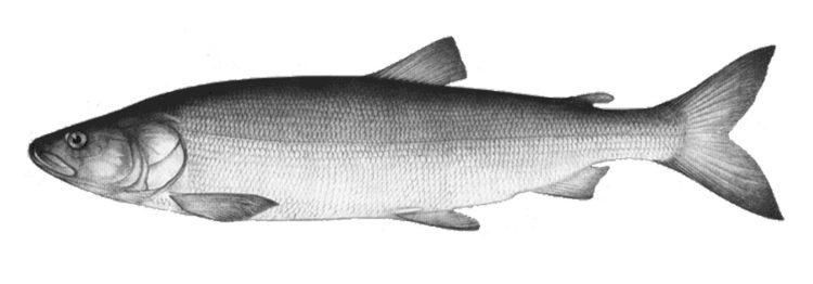 Все что нужно знать о рыбе; Нельма