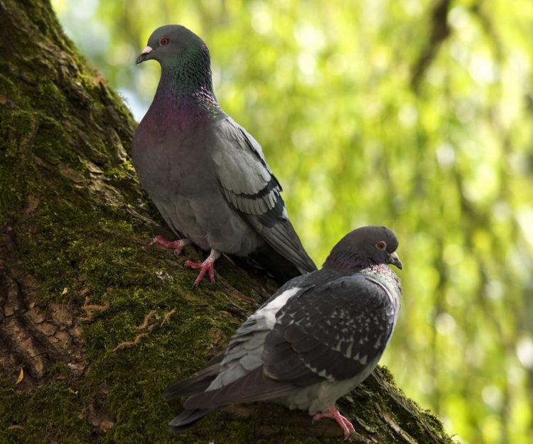 Голубь птица. Образ жизни и среда обитания голубя